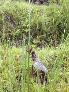 自然美∞とんぼがヤゴから孵る