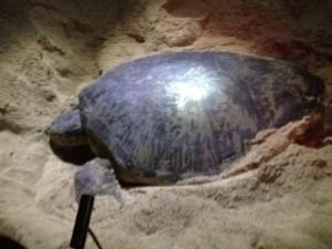 タートルアイランド∞☆ボルネオ島 Borneo Island(turtle island)